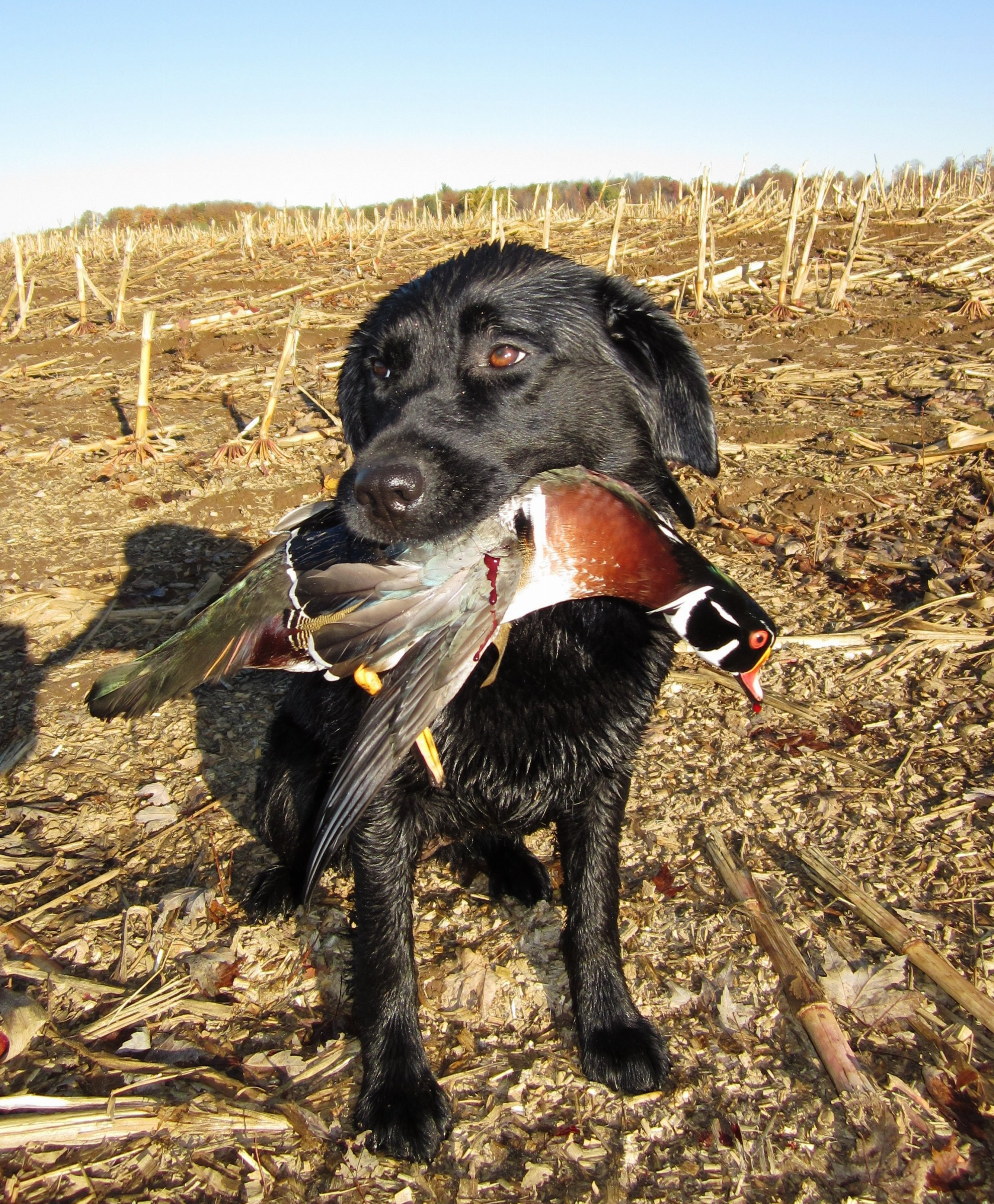 125644234-miss-ekho-with-a-dandy-drake-wood-duck-taken-on-an-early-season-back-country-hunt