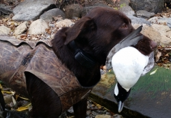 125729472-h-action-bufflehead-with-tart-1114-800-copy