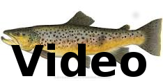 Click Above for Brown Trout Video