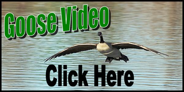Migrant Goose Video Tag 2016-150